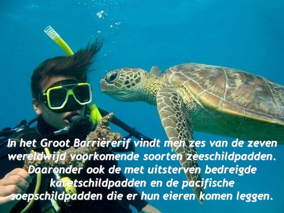In het Groot Barrièrerif vindt men zes van de zeven wereldwijd voorkomende soorten zeeschildpadden.