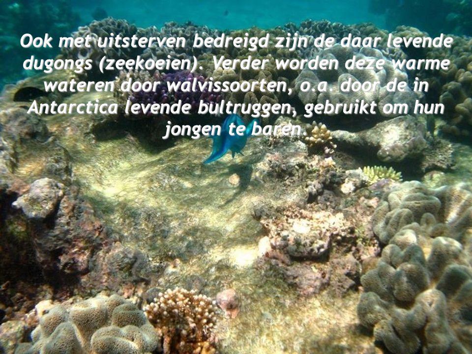 Ook met uitsterven bedreigd zijn de daar levende dugongs (zeekoeien)