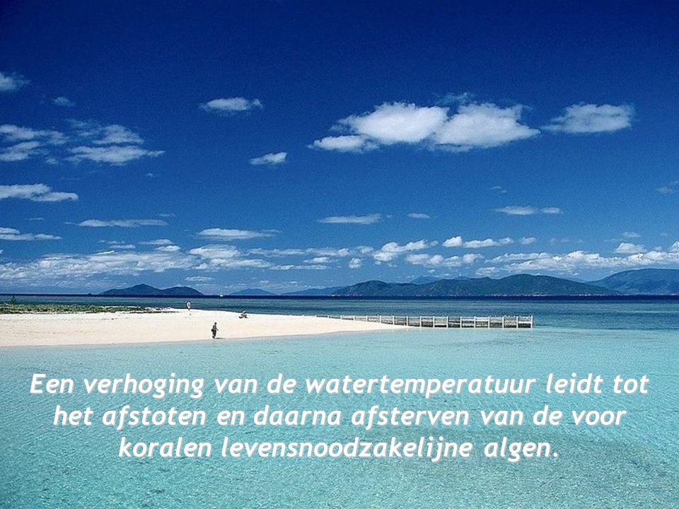 Een verhoging van de watertemperatuur leidt tot het afstoten en daarna afsterven van de voor koralen levensnoodzakelijne algen.