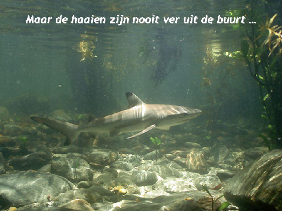 Maar de haaien zijn nooit ver uit de buurt …