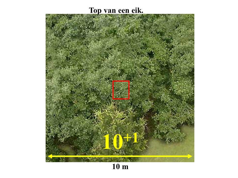 Top van een eik. 10+1 10 m