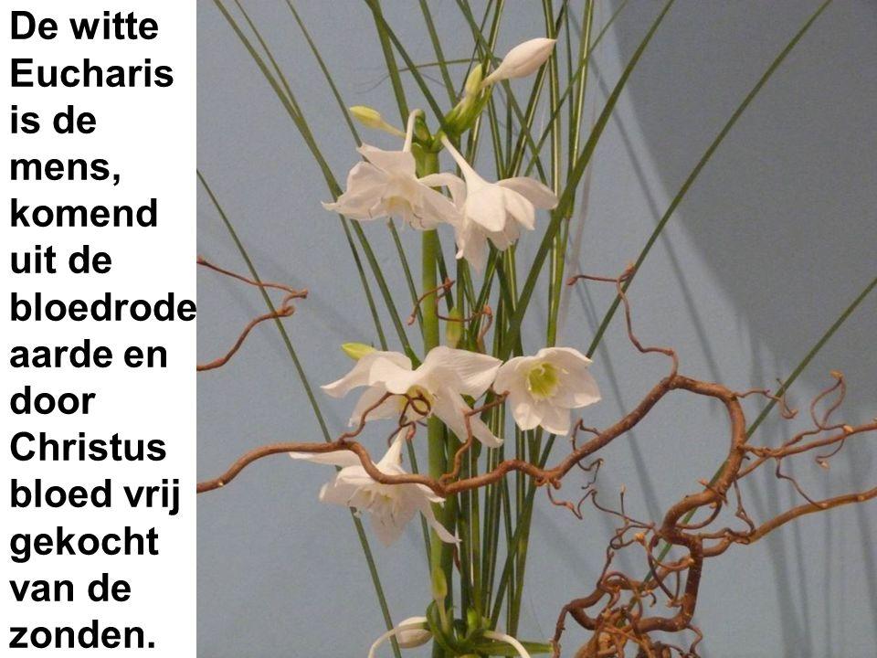De witte Eucharis is de mens, komend uit de bloedrode aarde en door Christus bloed vrij gekocht van de zonden.