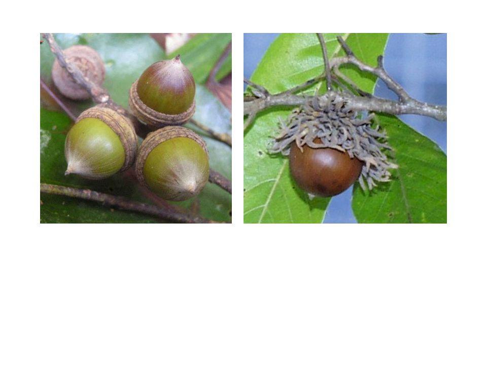 Quercus acutissima (USA)