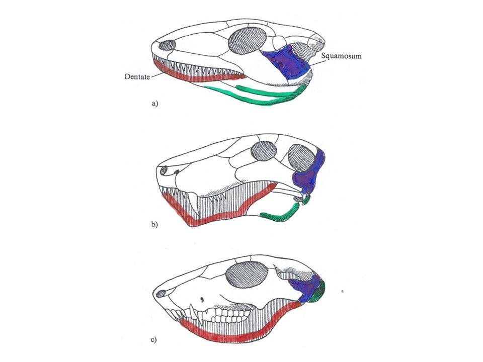 Evolutie van de onderkaak bij reptielen: ontstaan van een secundair onderkaakgewricht