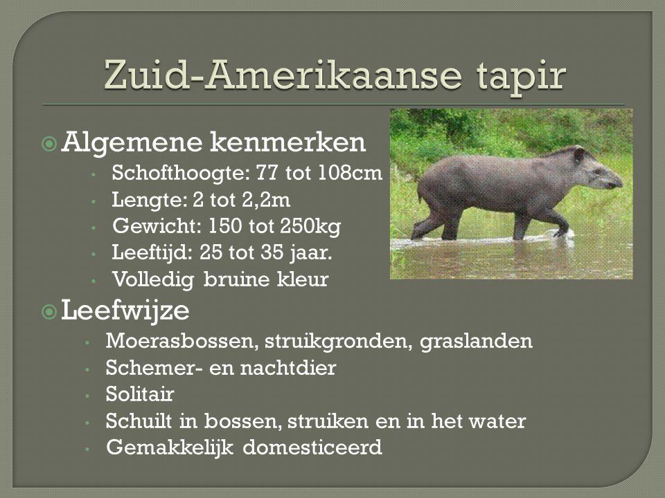 Zuid-Amerikaanse tapir