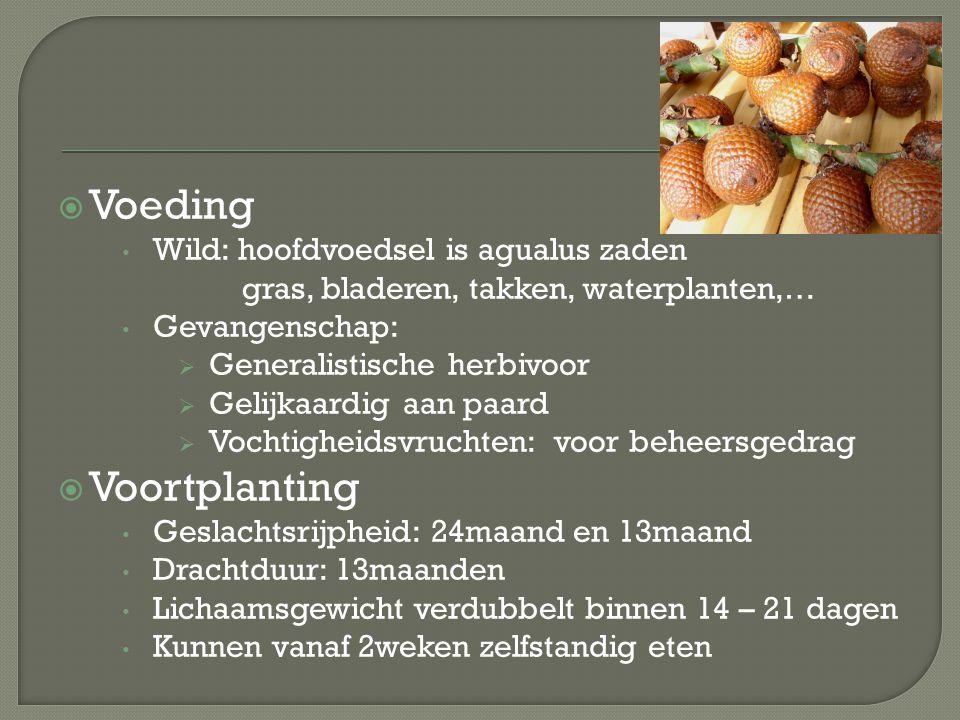 Voeding Voortplanting Wild: hoofdvoedsel is agualus zaden