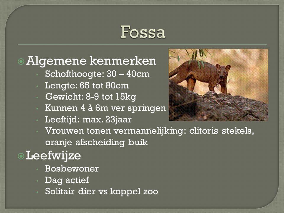 Fossa Algemene kenmerken Leefwijze Schofthoogte: 30 – 40cm