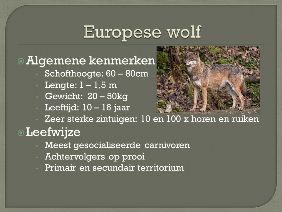 Europese wolf Algemene kenmerken Leefwijze Schofthoogte: 60 – 80cm
