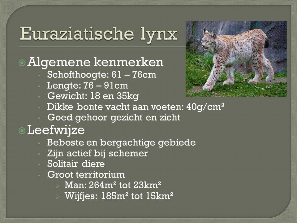 Euraziatische lynx Algemene kenmerken Leefwijze