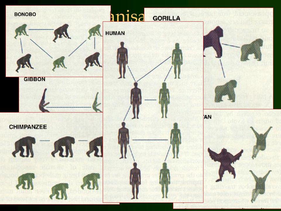 Sociale organisatie bij primaten