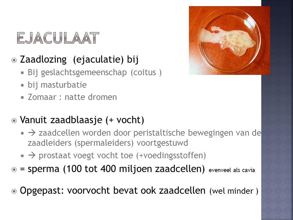 ejaculaat Zaadlozing (ejaculatie) bij Vanuit zaadblaasje (+ vocht)