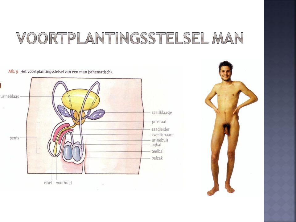 Voortplantingsstelsel man