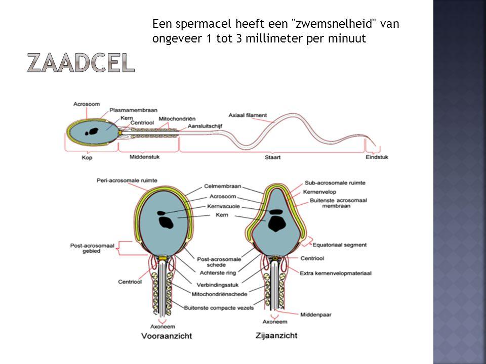 Zaadcel Een spermacel heeft een zwemsnelheid van ongeveer 1 tot 3 millimeter per minuut