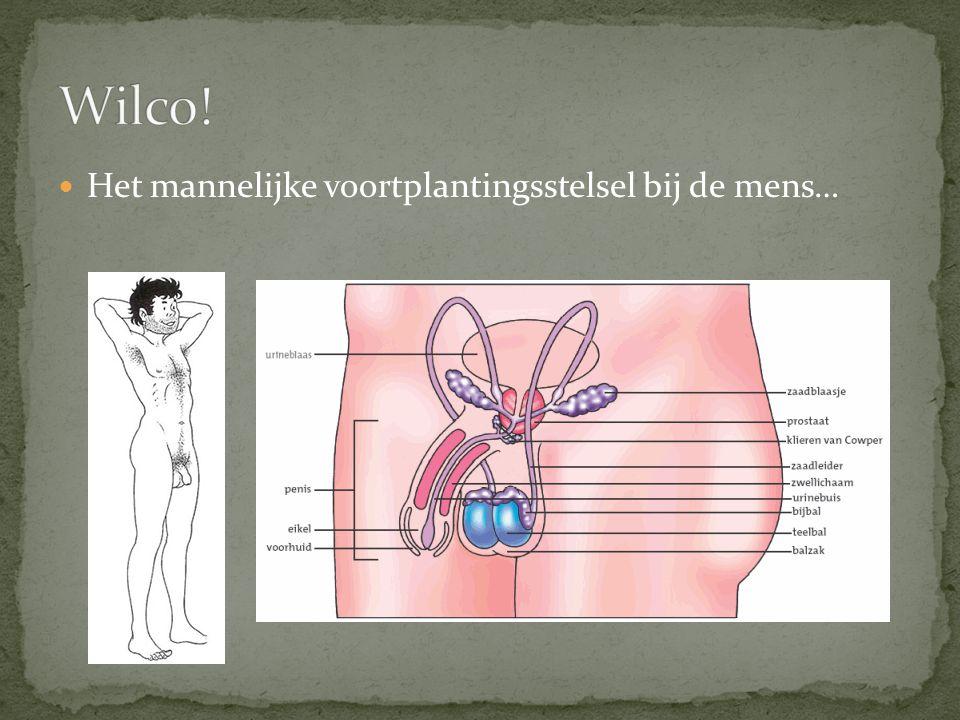 Wilco! Het mannelijke voortplantingsstelsel bij de mens…