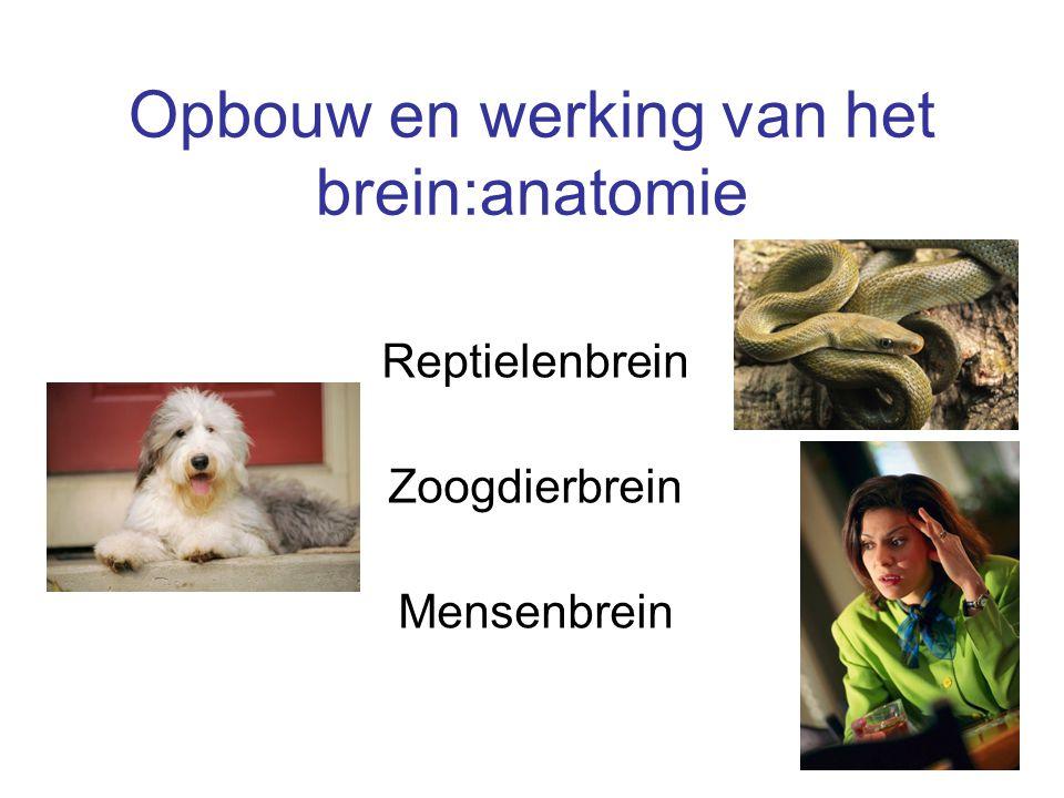 Opbouw en werking van het brein:anatomie