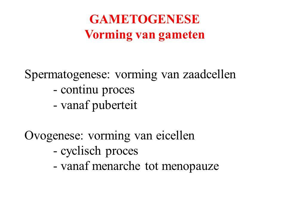 GAMETOGENESE Vorming van gameten. Spermatogenese: vorming van zaadcellen. - continu proces. - vanaf puberteit.