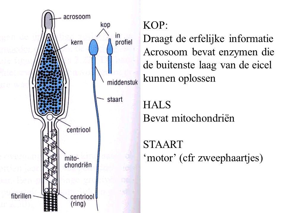 KOP: Draagt de erfelijke informatie. Acrosoom bevat enzymen die de buitenste laag van de eicel kunnen oplossen.