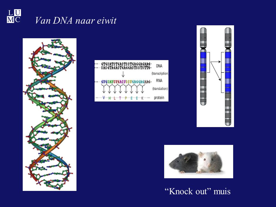 Van DNA naar eiwit Knock out muis