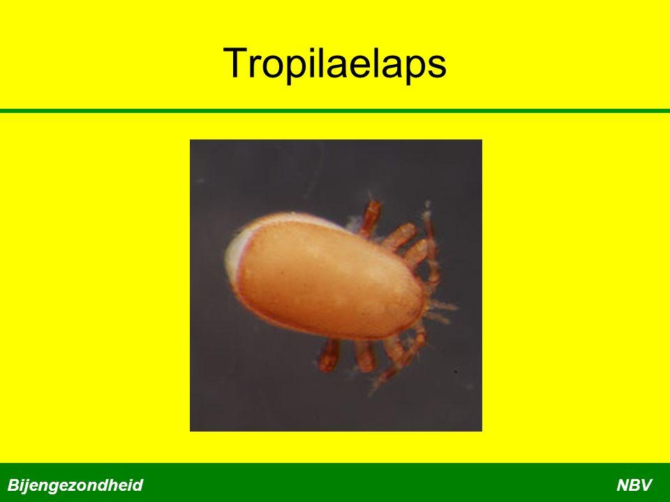 Tropilaelaps Bijengezondheid NBV