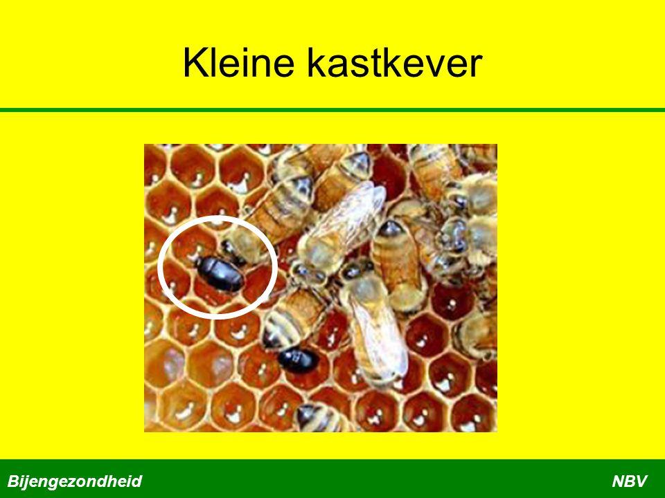 Kleine kastkever Bijengezondheid NBV