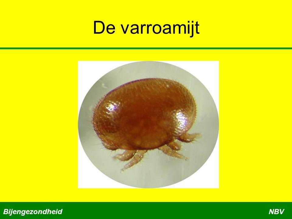 De varroamijt Bijengezondheid NBV