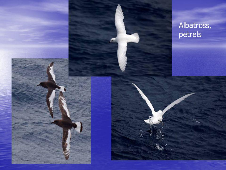 Albatross, petrels