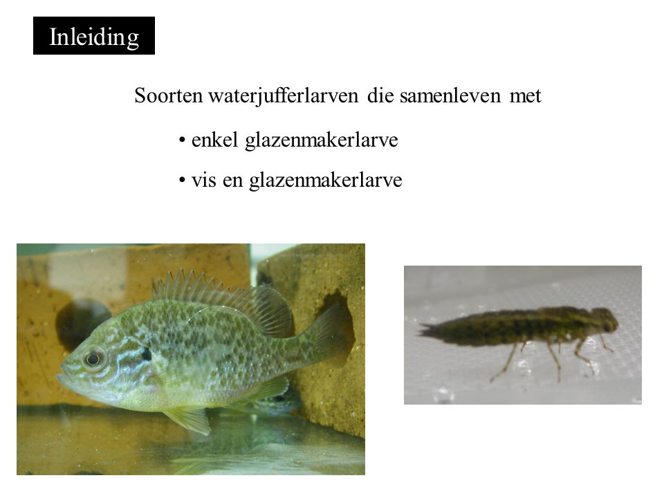 Inleiding Soorten waterjufferlarven die samenleven met