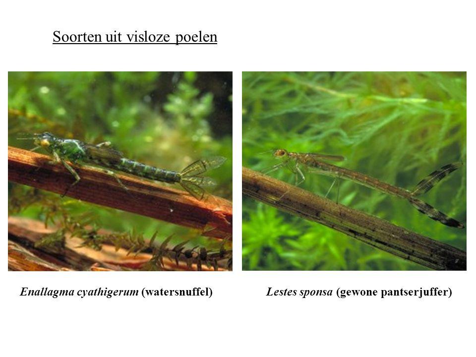 Lestes sponsa (gewone pantserjuffer)