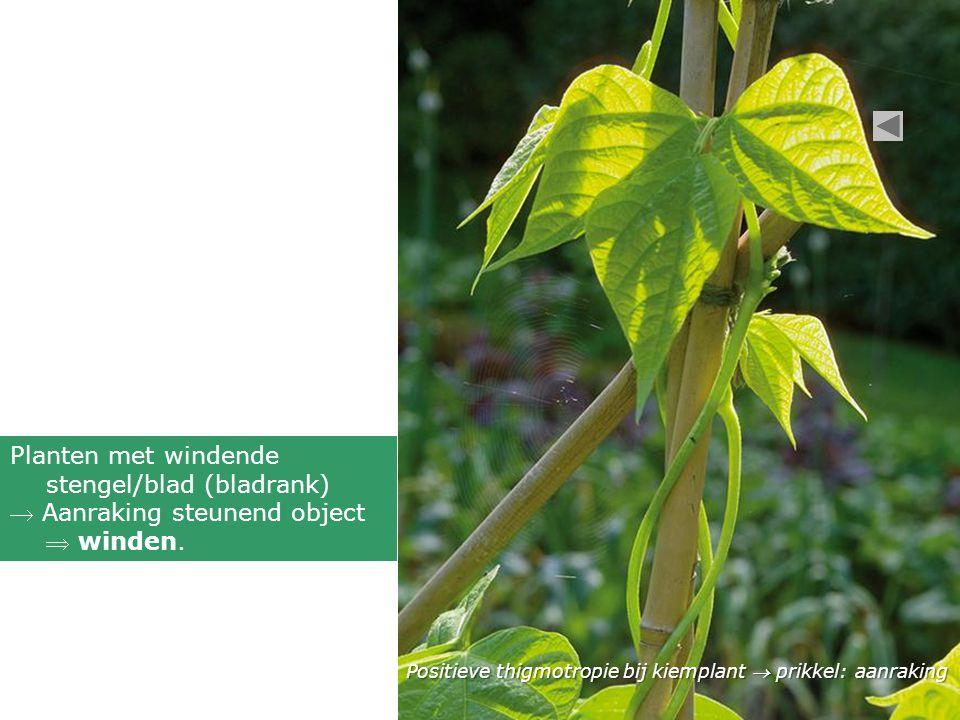 Planten met windende stengel/blad (bladrank)