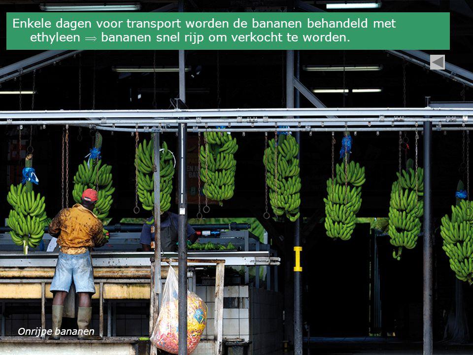 Enkele dagen voor transport worden de bananen behandeld met ethyleen  bananen snel rijp om verkocht te worden.