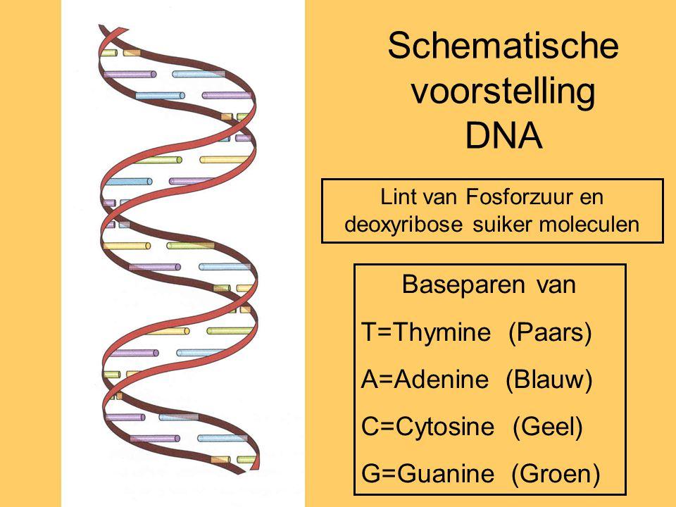 Schematische voorstelling DNA