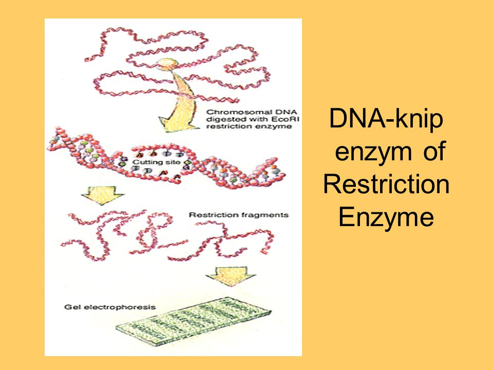 DNA-knip enzym of Restriction Enzyme