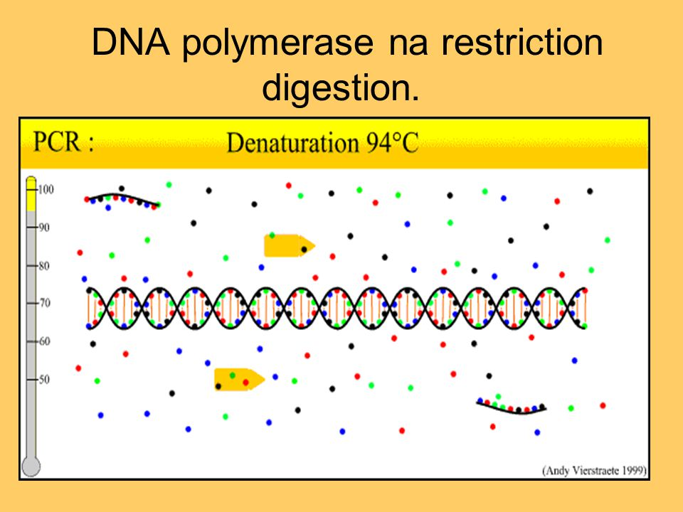 DNA polymerase na restriction digestion.