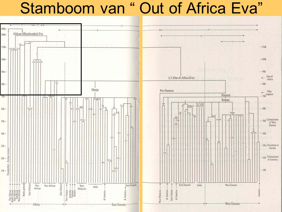 Stamboom van Out of Africa Eva