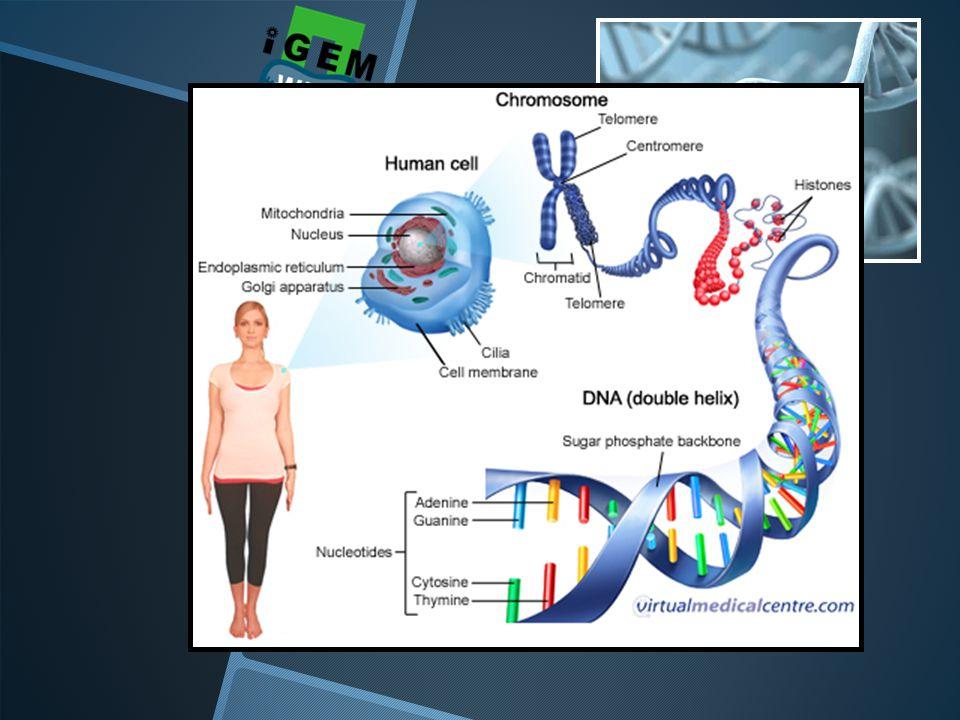 DNA enzo... De genetische code van het leven