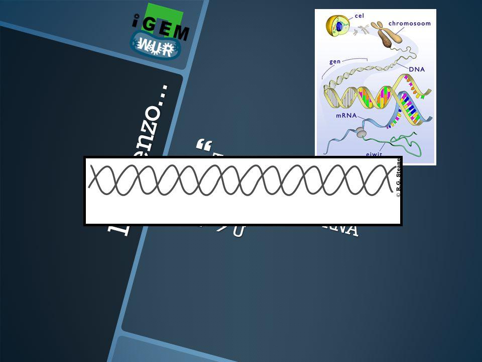 Transcriptie Van DNA naar RNA T  U DNA enzo...