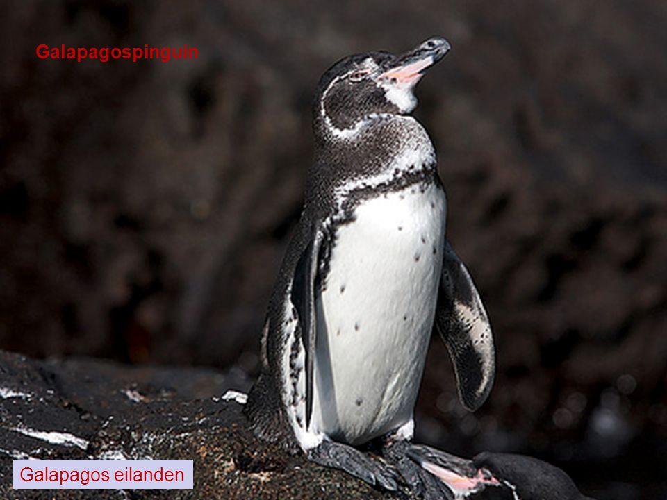 Galapagospinguin Galapagos eilanden