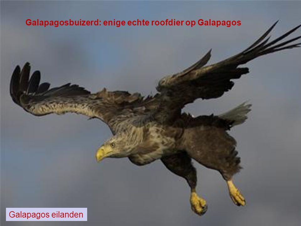 Galapagosbuizerd: enige echte roofdier op Galapagos