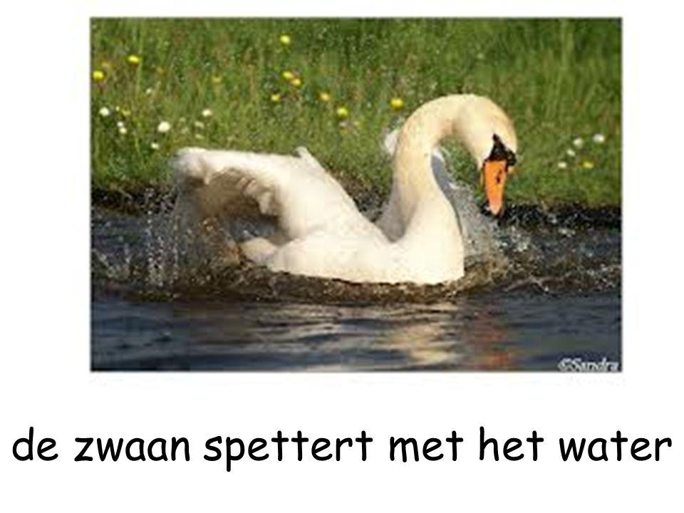 de zwaan spettert met het water