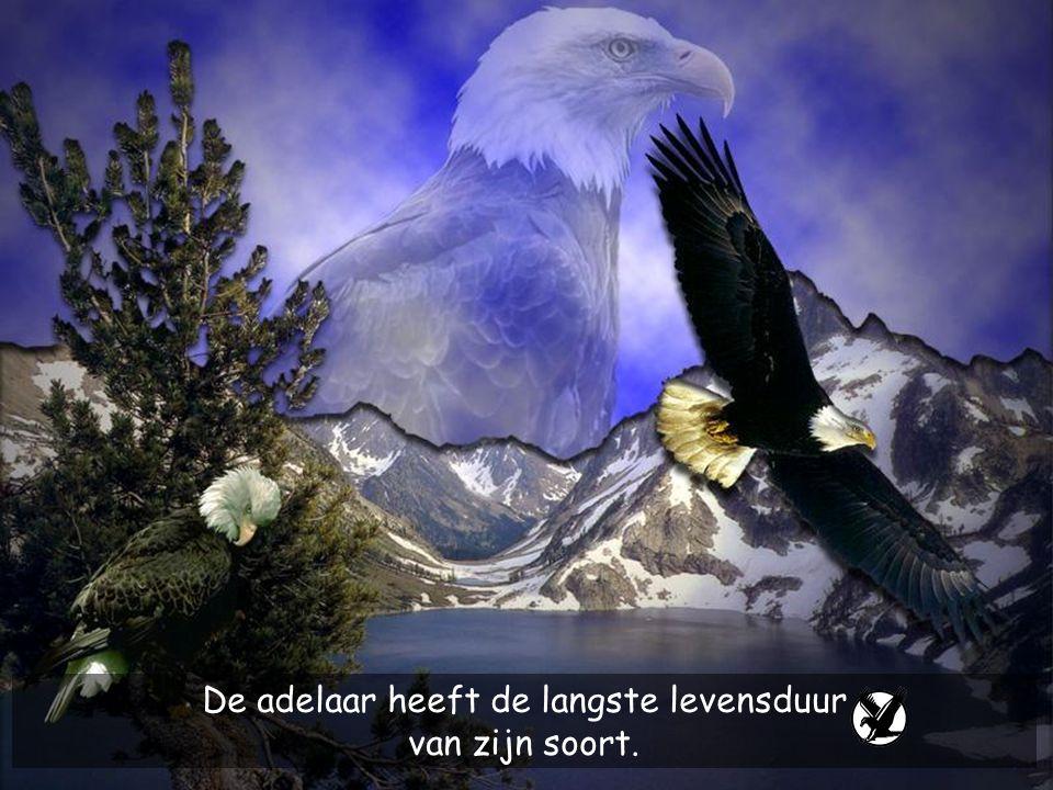 De adelaar heeft de langste levensduur