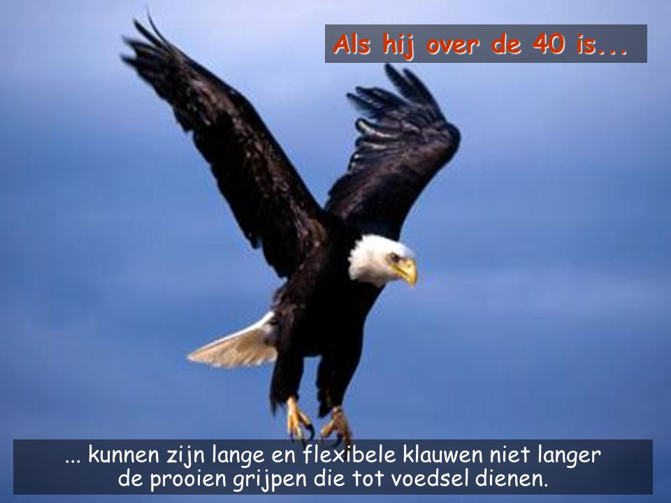 Als hij over de 40 is... In its' 40's. Its' long and flexible talons can no longer grab prey which serve as food.