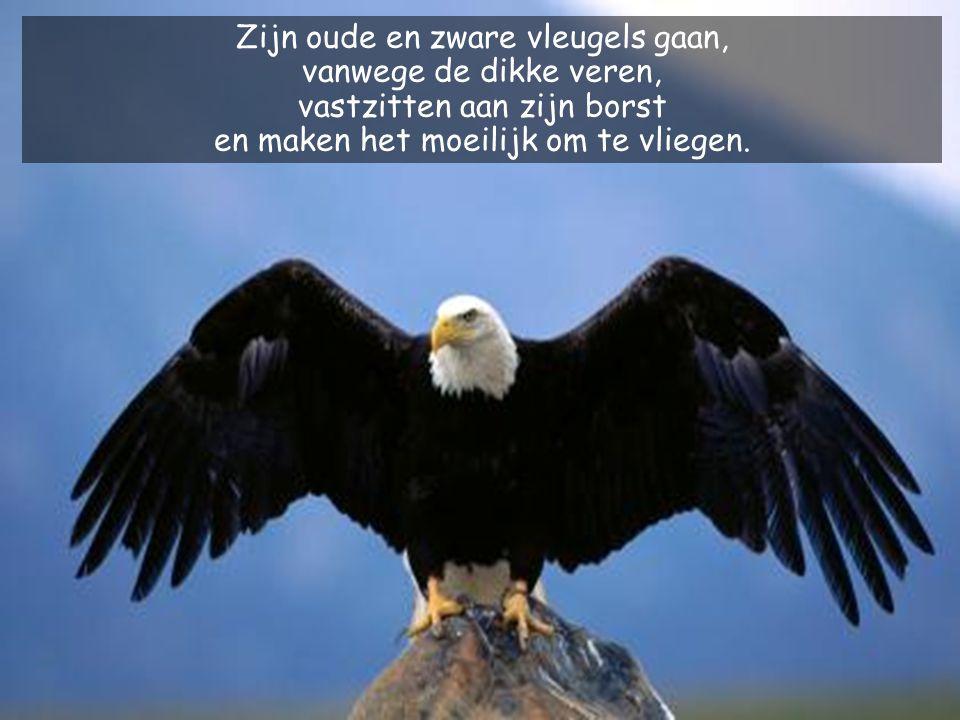 Zijn oude en zware vleugels gaan, vanwege de dikke veren,