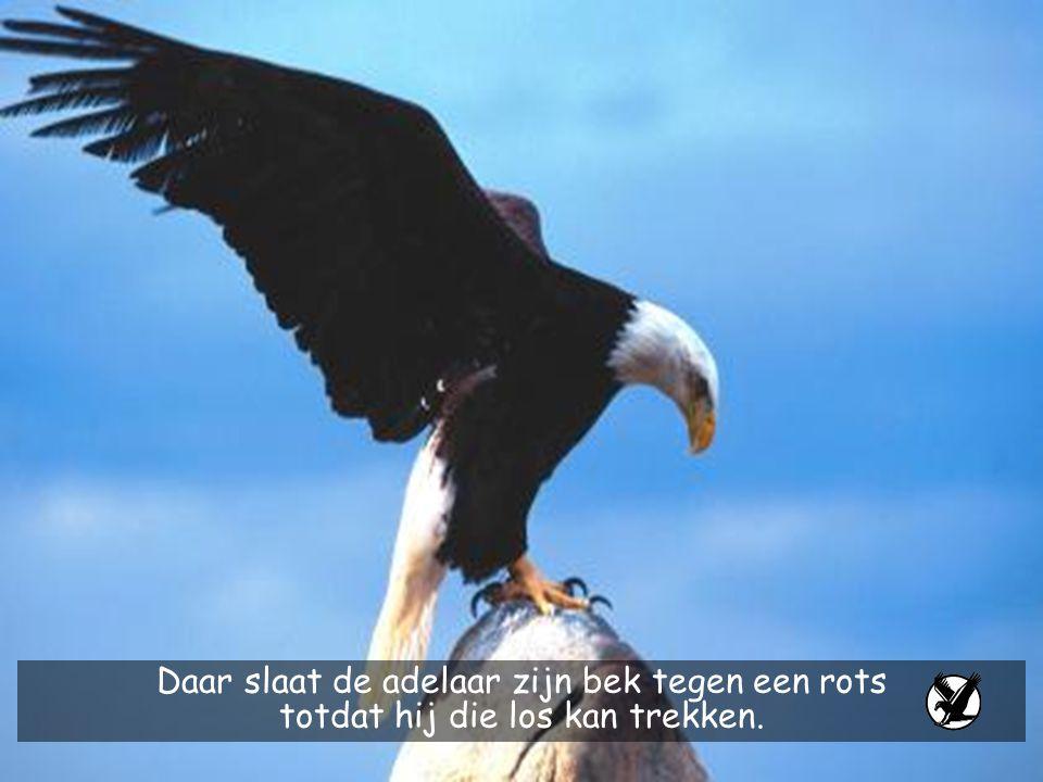 Daar slaat de adelaar zijn bek tegen een rots