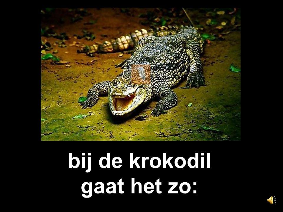 bij de krokodil gaat het zo: