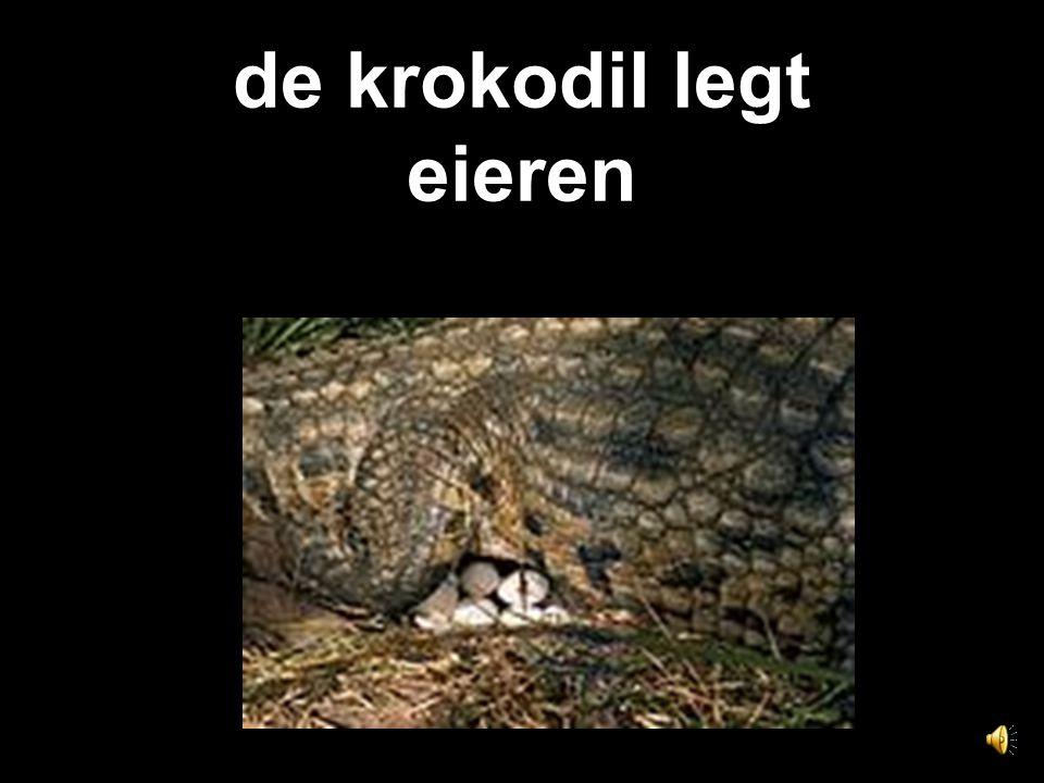 de krokodil legt eieren