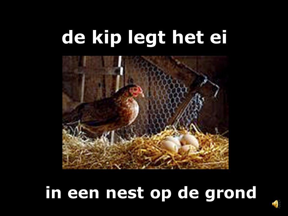 de kip legt het ei in een nest op de grond