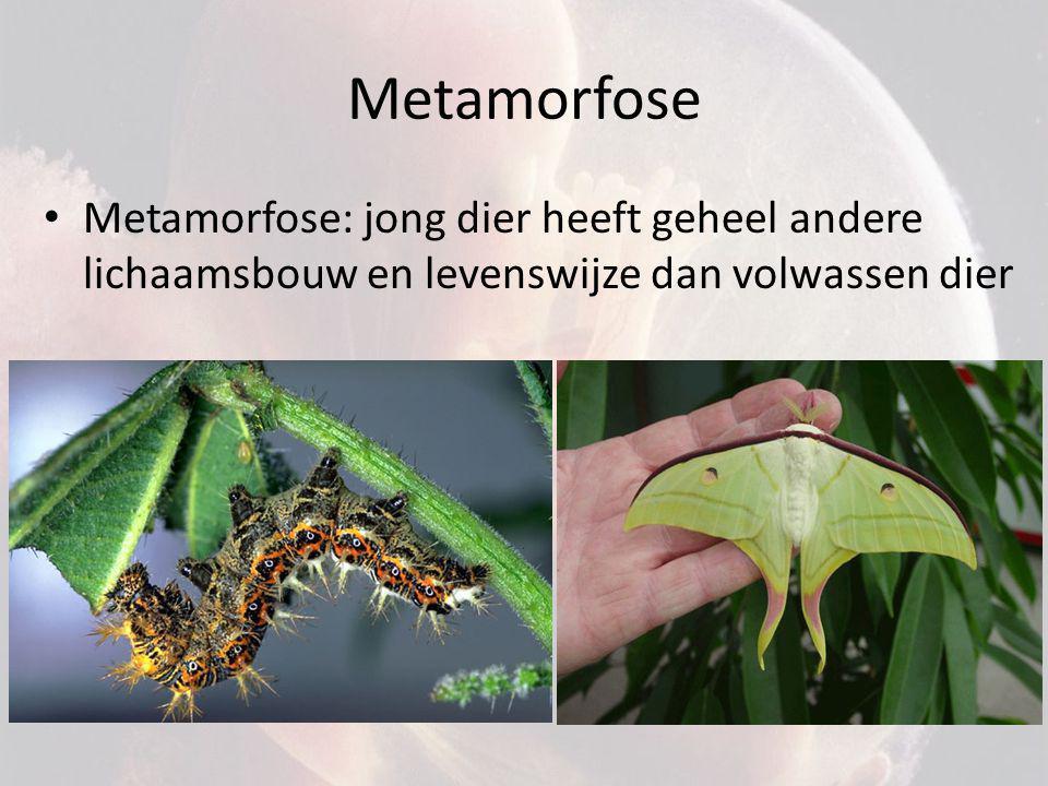 Metamorfose Metamorfose: jong dier heeft geheel andere lichaamsbouw en levenswijze dan volwassen dier.