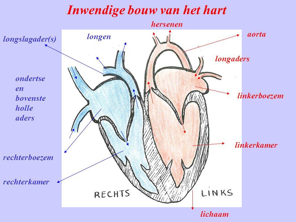 Inwendige bouw van het hart