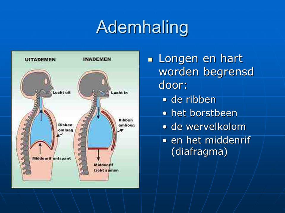 Ademhaling Longen en hart worden begrensd door: de ribben
