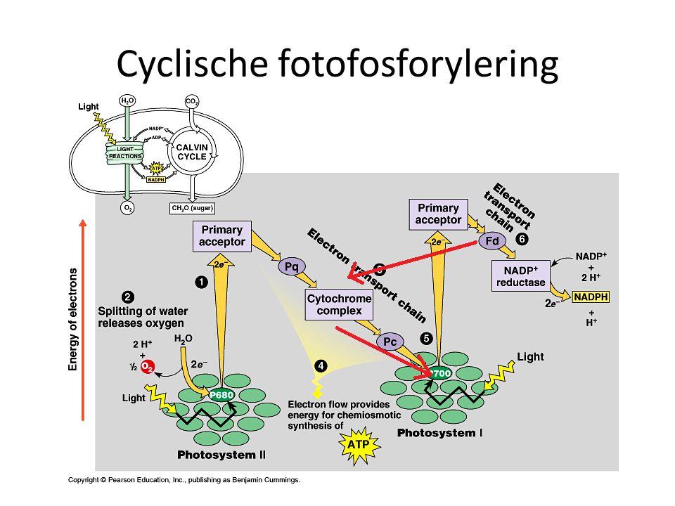 Cyclische fotofosforylering